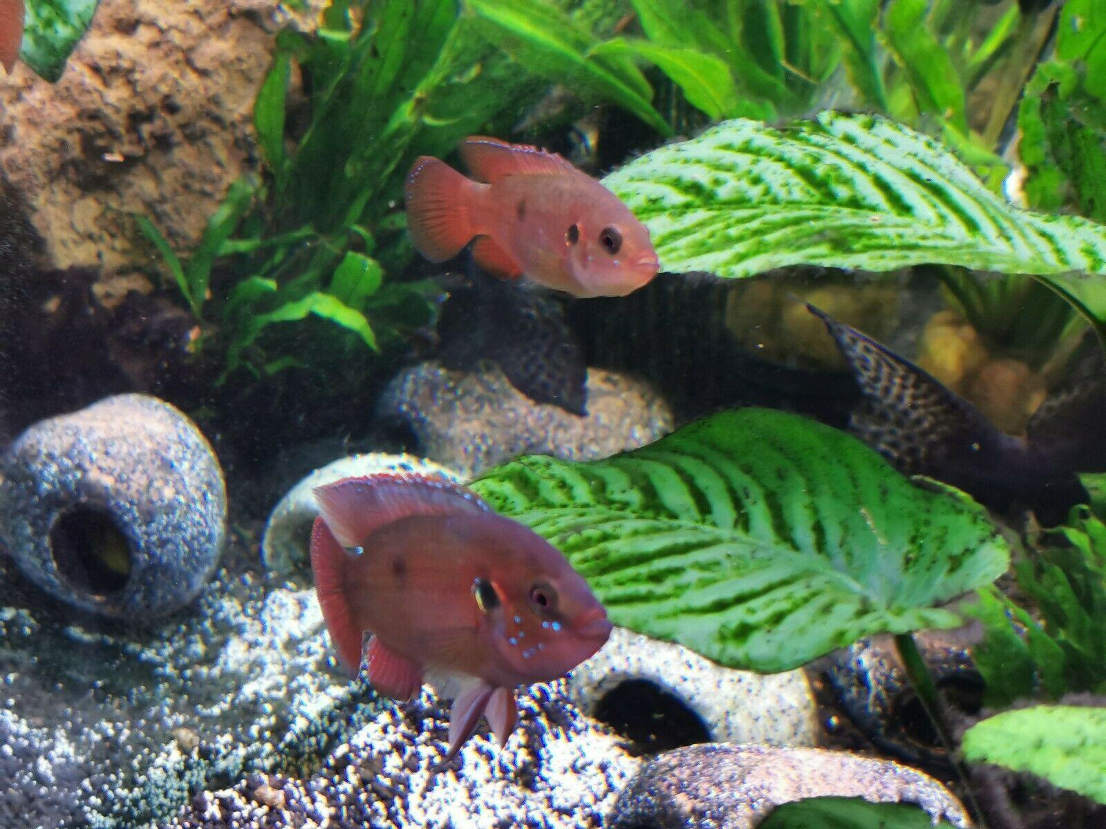 Jewel cichlid fish (Breeding pair) in 2020 | Fish breeding ...