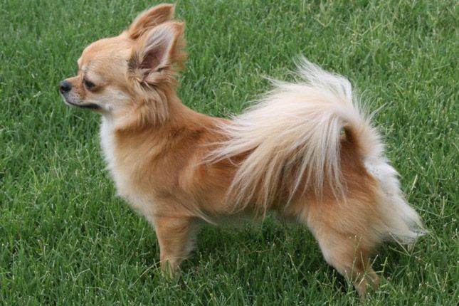 Chihuahua Chihuahua Dogs Pets