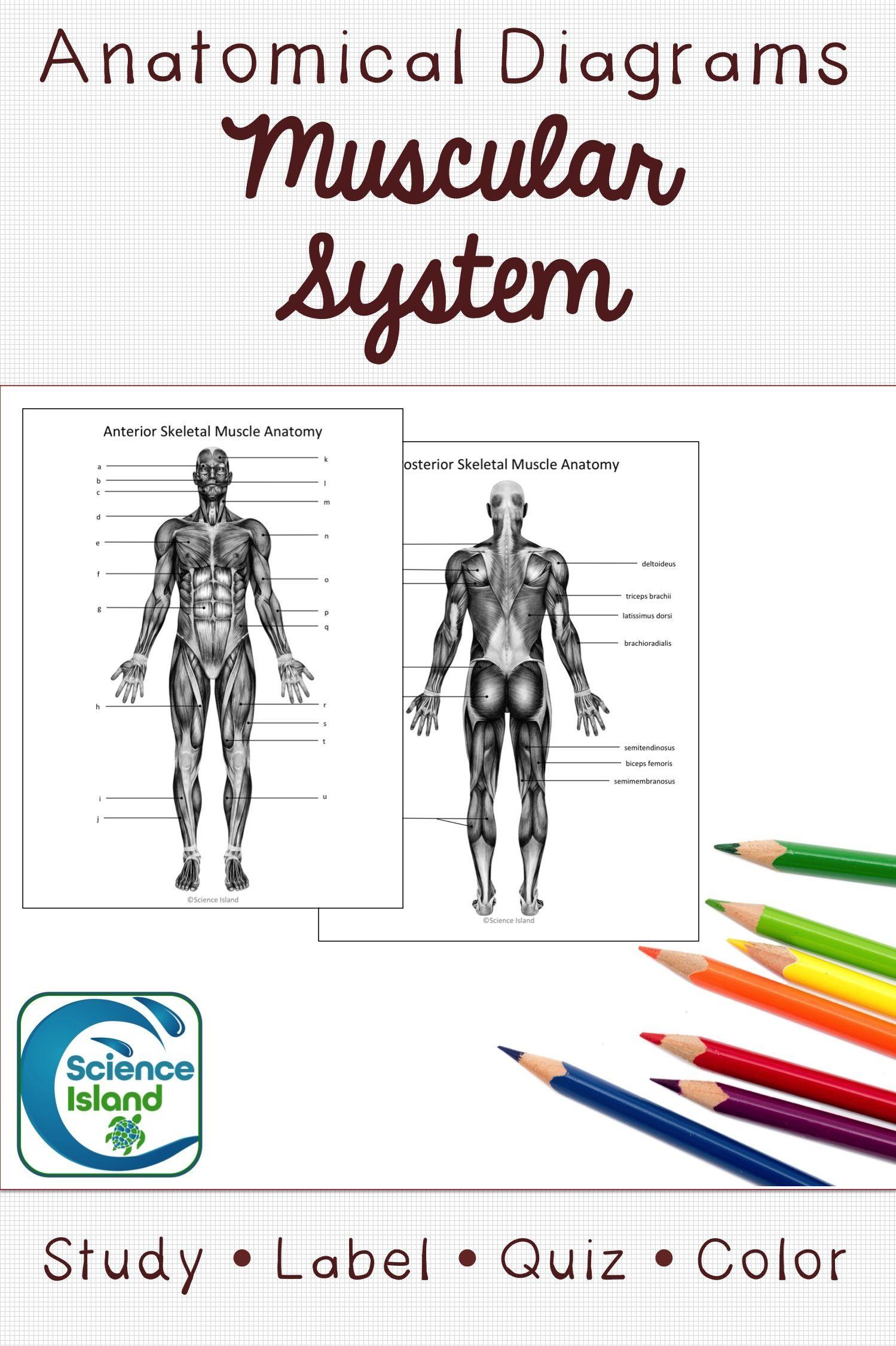 Muscular System Diagrams: Study, Label, Quiz & Color | Anatomy ...
