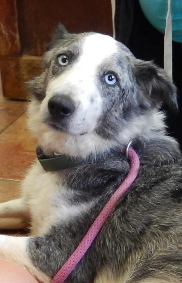 Adopt Blue On Rescue Dogs Australian Shepherd Dogs Dogs