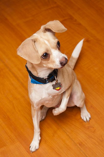 ILLINOIS ~ meet Plato an #adoptable bright-eyed little guy who's at PAWS, a no-kill shelter in Chicago.  12.16.12