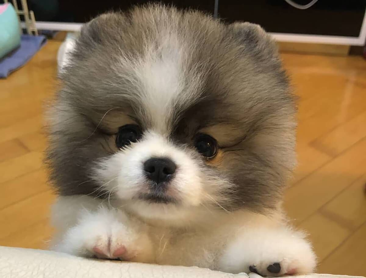 Teacup Pomeranian Is The Best Apartment Dog Ever Here S Why Small Pomeranian Puppies Goldenacresdog In 2020 Best Apartment Dogs Pomeranian Puppy Teacup Apartment Dogs