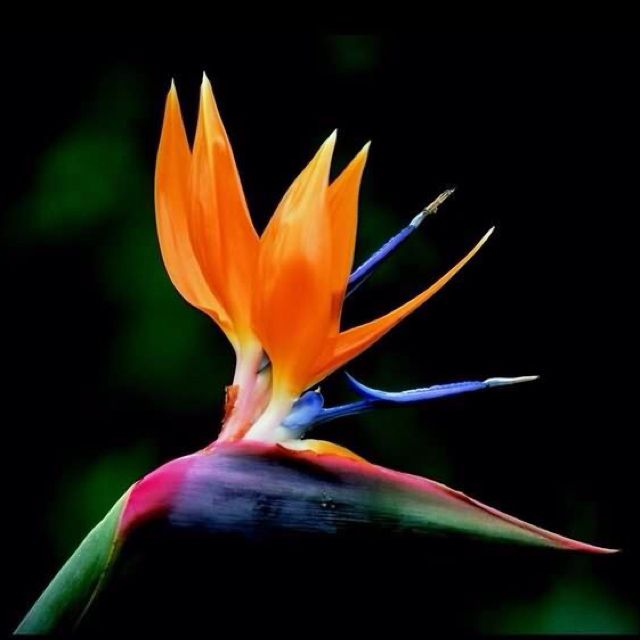 Strelitzia Bird Of Paradise Birds Of Paradise Flower Paradise Flowers Birds Of Paradise Plant