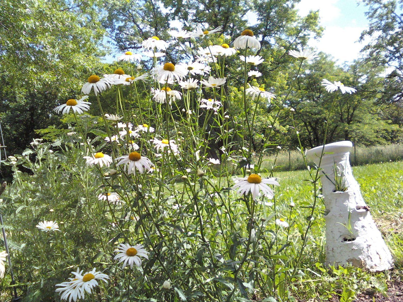 Flowers in June ... daisies