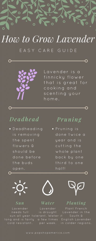 Easiest Lavender Care Guide