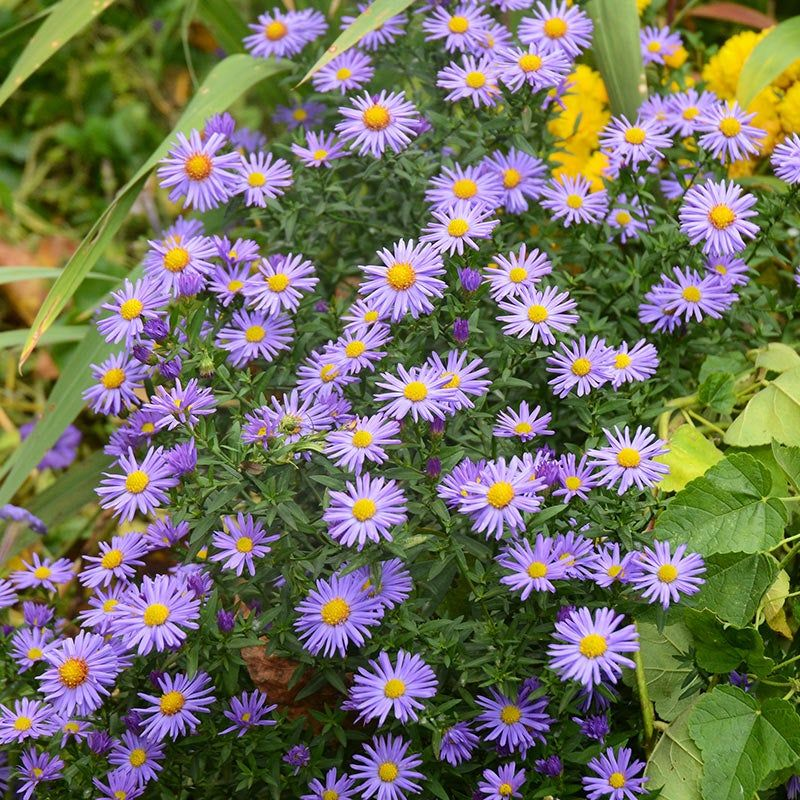 Prairie Aster Seeds Prairie Flower Wildflower Seeds Organic Gardening Tips
