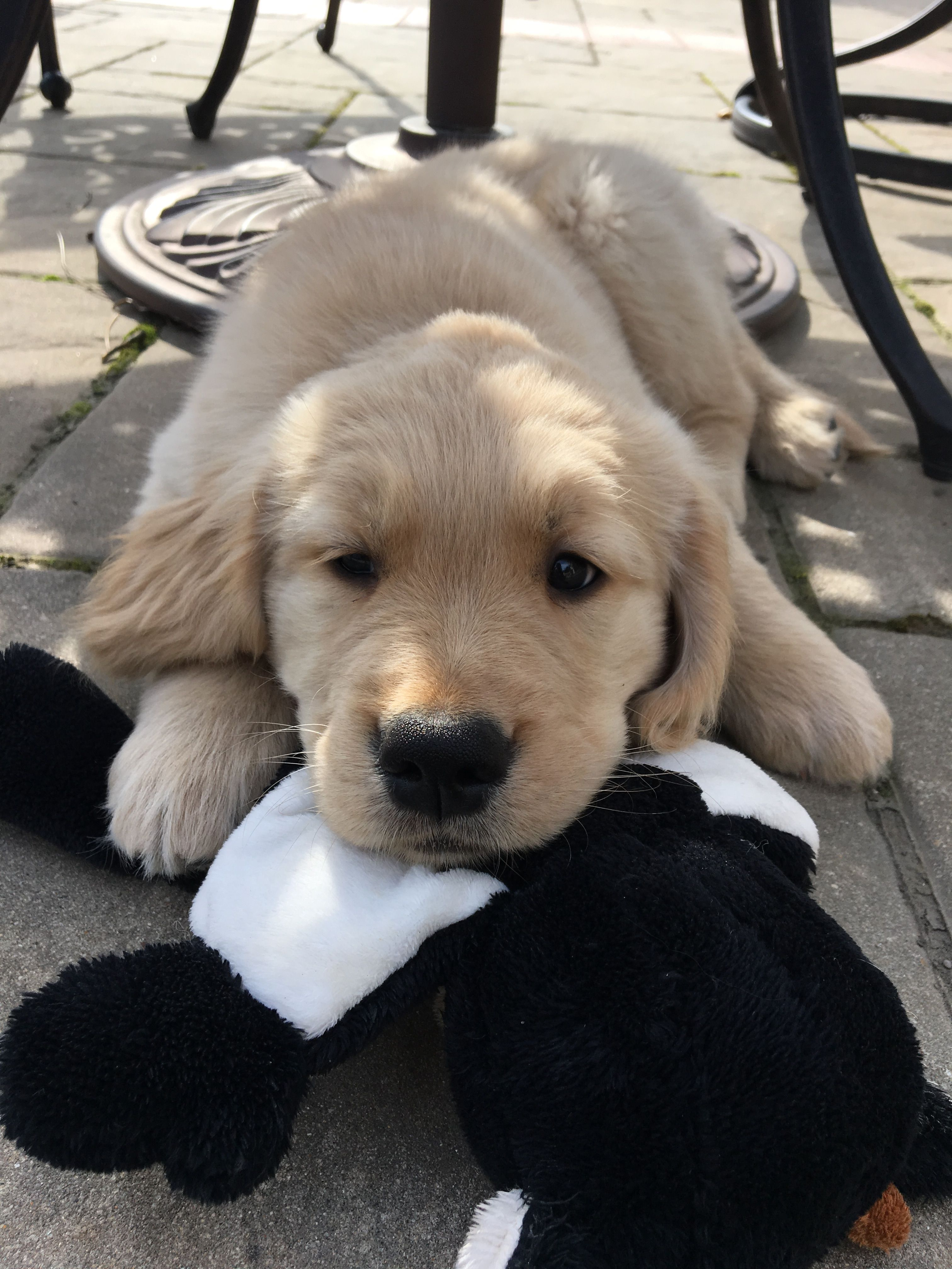 Golden Retriever Animals Retriever Puppy Dogs Golden