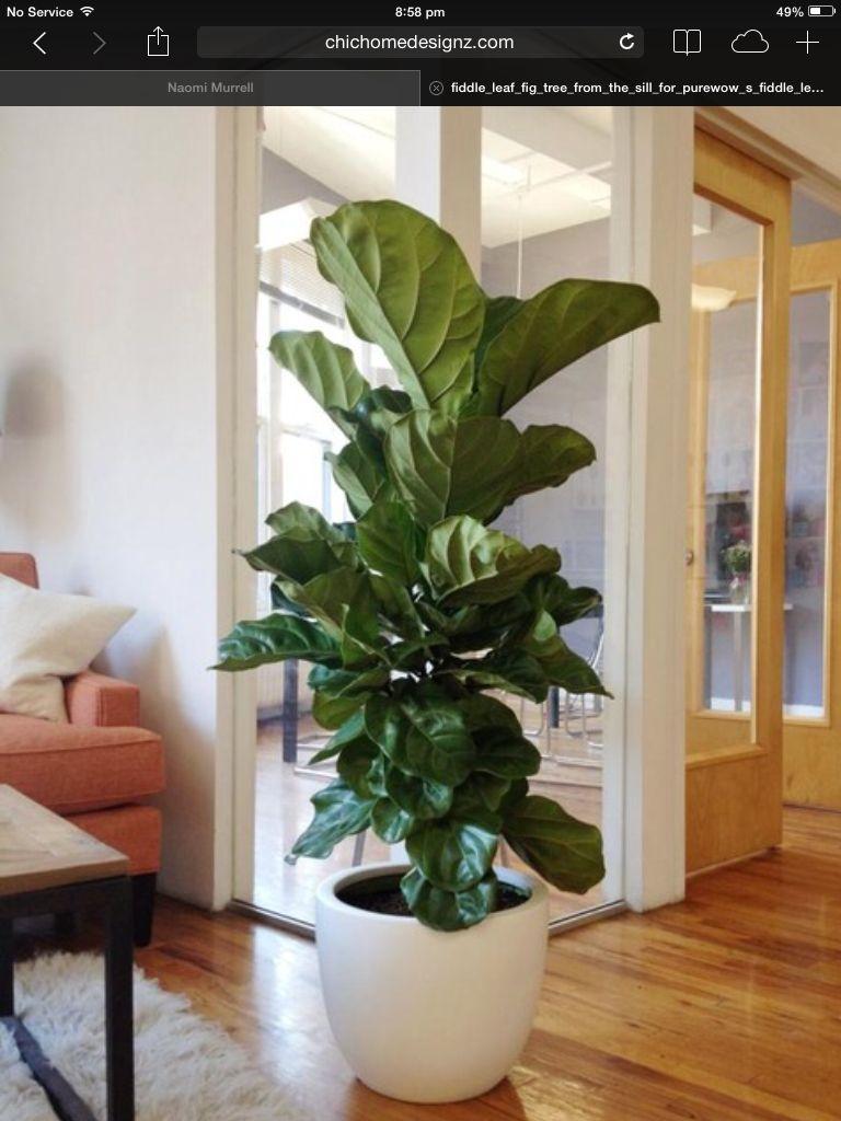 Fiddle leaf fig, vioolbladplant, tabaksplant, ficus lyrata