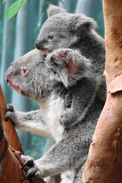 Wanneroo at 9 months old by Paula~Koala, via Flickr