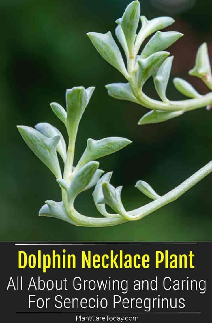 Dolphin necklace care growing senecio peregrinus plants