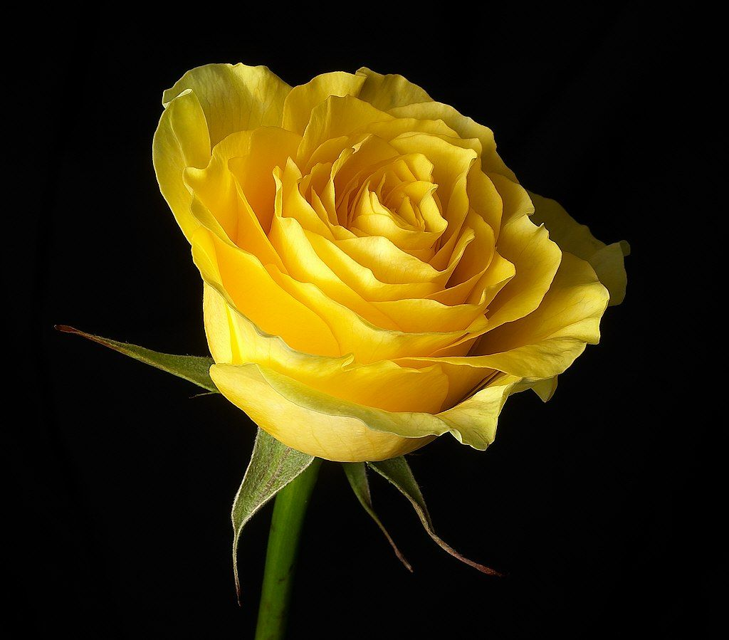yellow roses images | all june i bound the rose in sheaves now ...