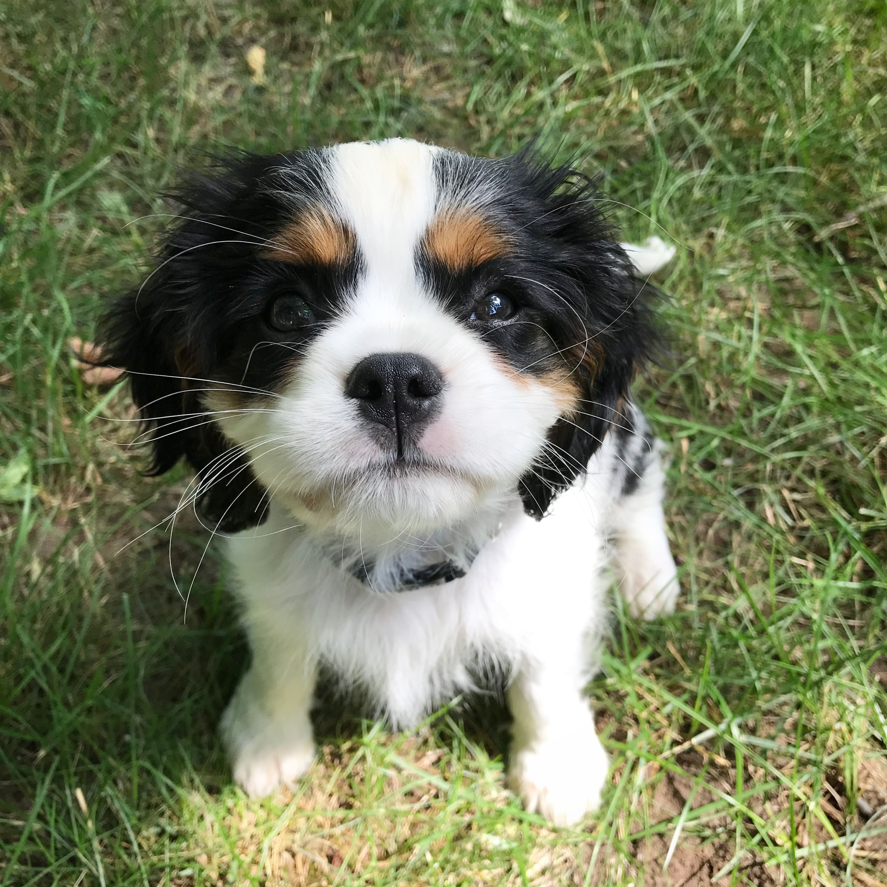 Cavalier King Charles Spaniel Graceful And Affectionate Cavalier Puppy King Charles Cavalier Spaniel Puppy Cavalier King Charles Spaniel
