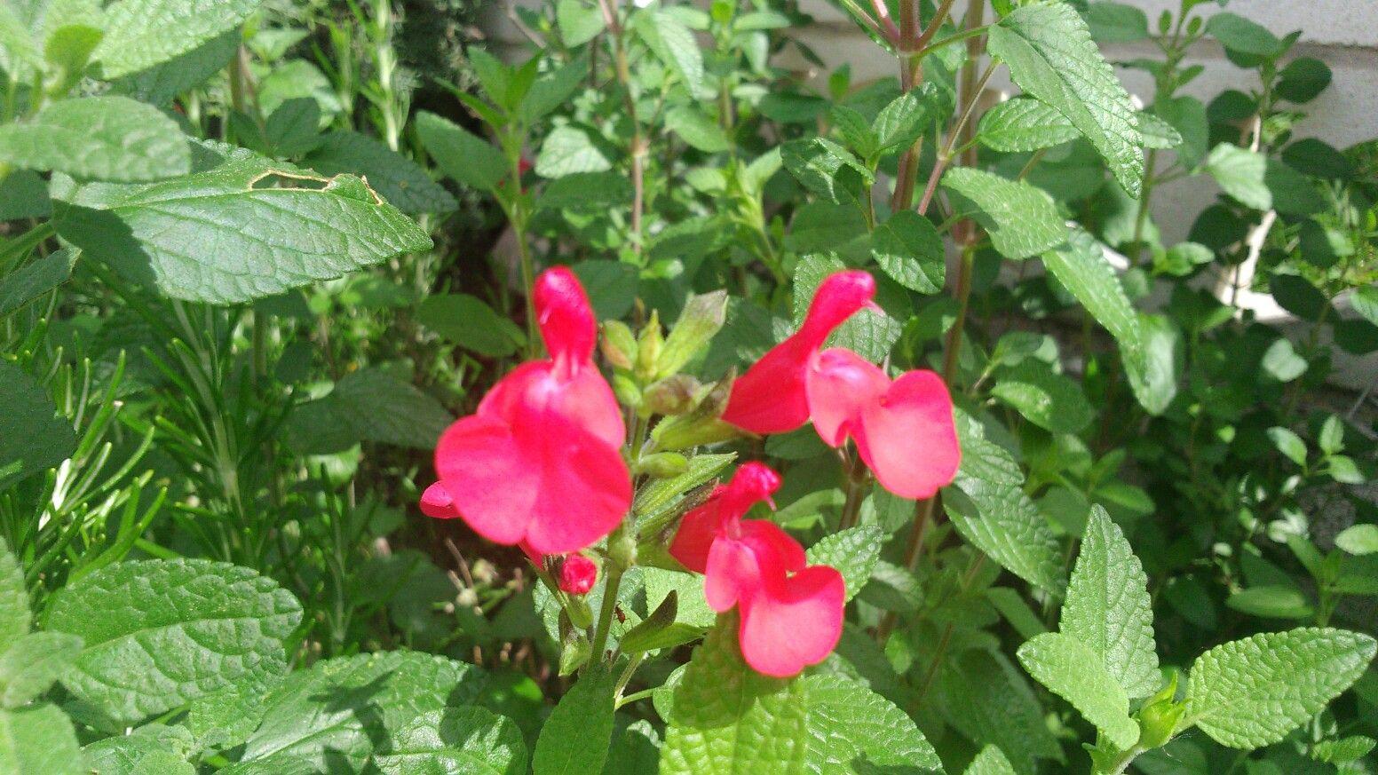 Flor de la verbena
