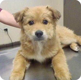 Apple Valley Ca German Shepherd Dog Golden Retriever Mix Meet Sasha 141517 A Puppy For Adoption Dogs Golden Retriever Dog Crossbreeds German Shepherd Dogs