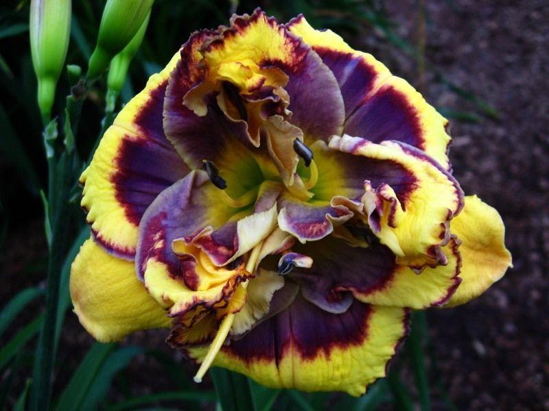 Лилейник, краснодев - краса летнего дня | Цветы