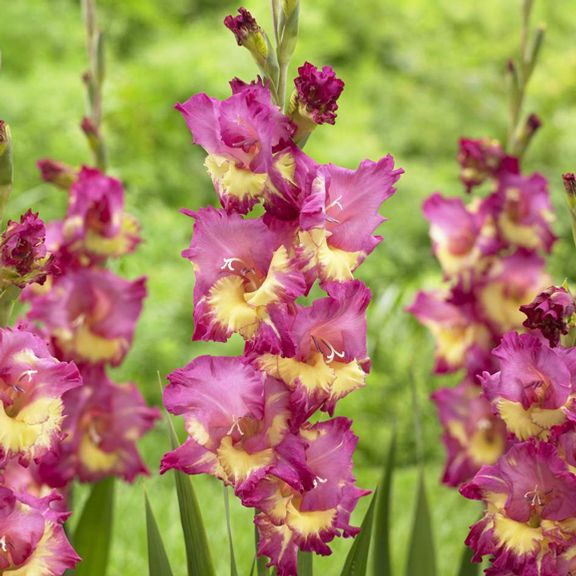 I Love The Color Combination That Makes Up Gladiolus Far West Bulb Flowers Rainbow Garden Gladiolus