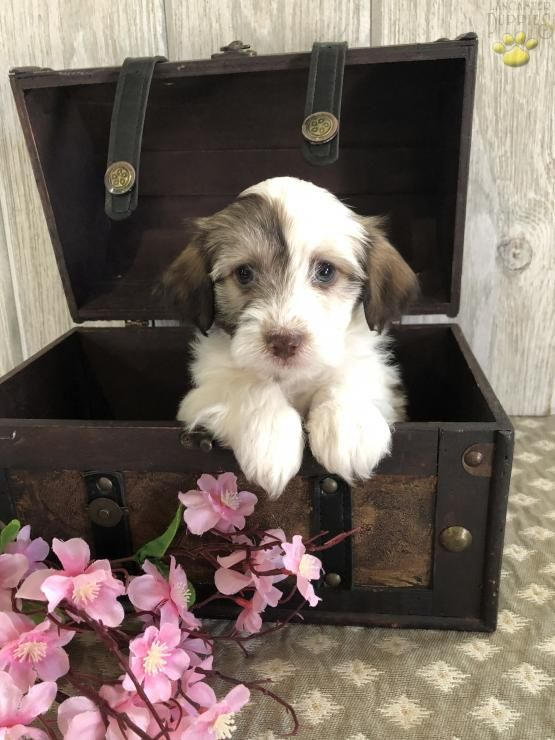 Pin by Jillian on Cute pets/animals Havanese puppies