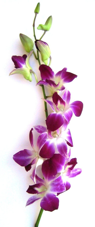 Dendrobium Orchid Dendrobium Orchids Purple Orchids Orchid Wallpaper