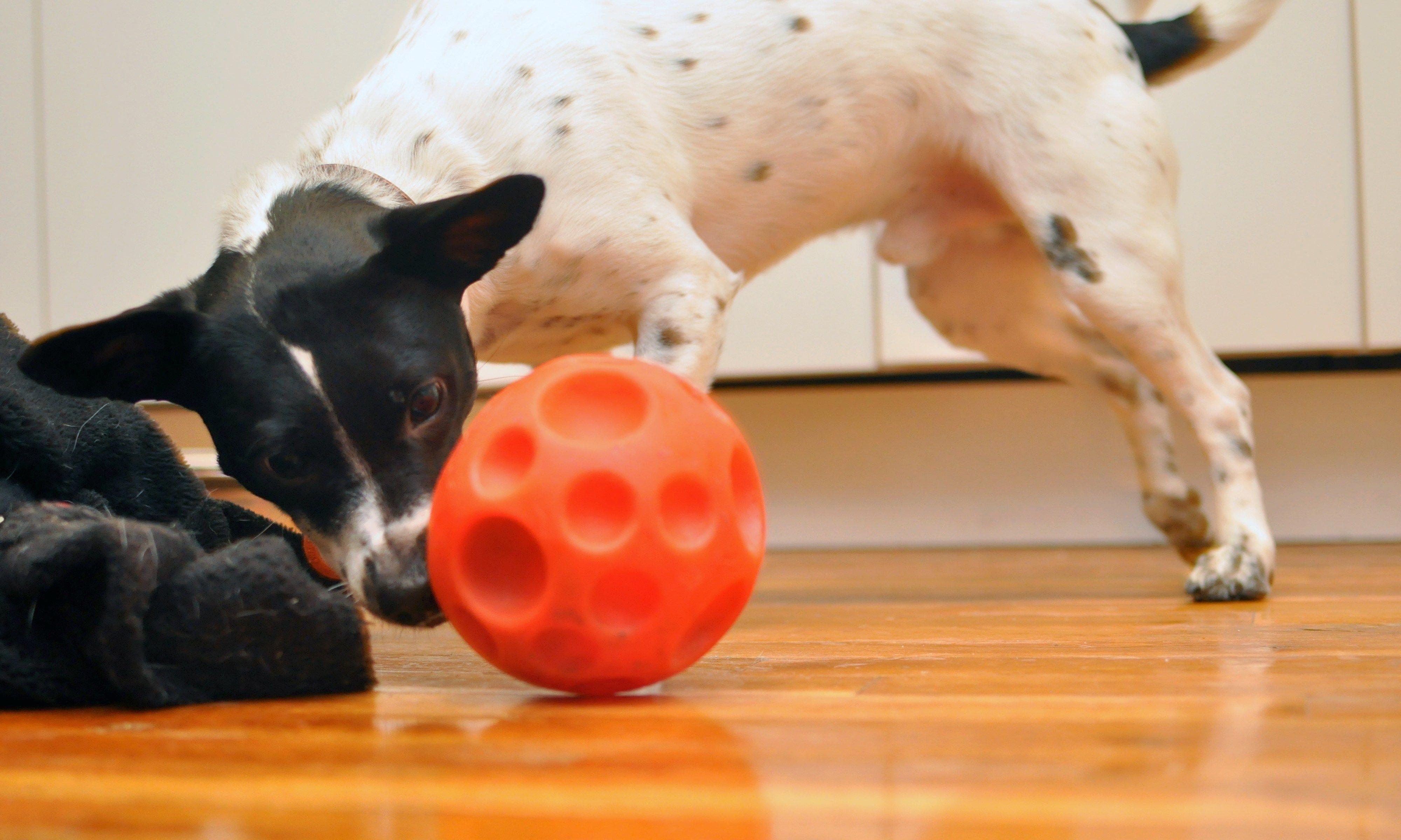 #cutestdogever #dogsrule #dogchild  #bostonterrierpuppy#aww #ILoveMyDog  #dogsofinstagram #dailyfluff