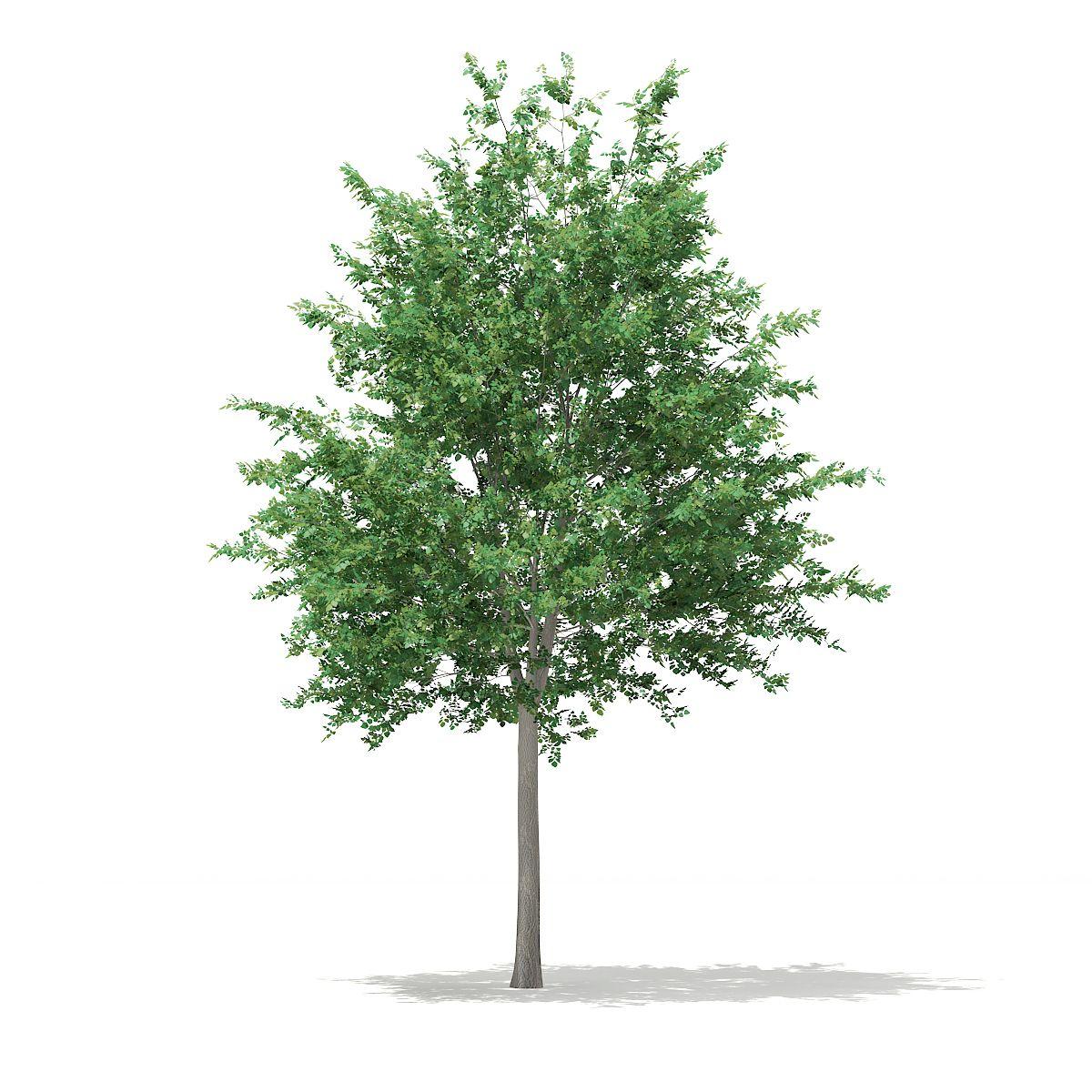 Bigtooth Aspen Populus Grandidentata 10 3m Aspen Bigtooth Populus Grandidentata Aspen Trees Aspen 3d Model