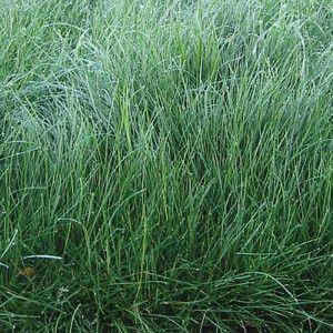 Creeping Red Fescue Grass Seeds Fescue Grass Seed Fescue Grass Grass Seed