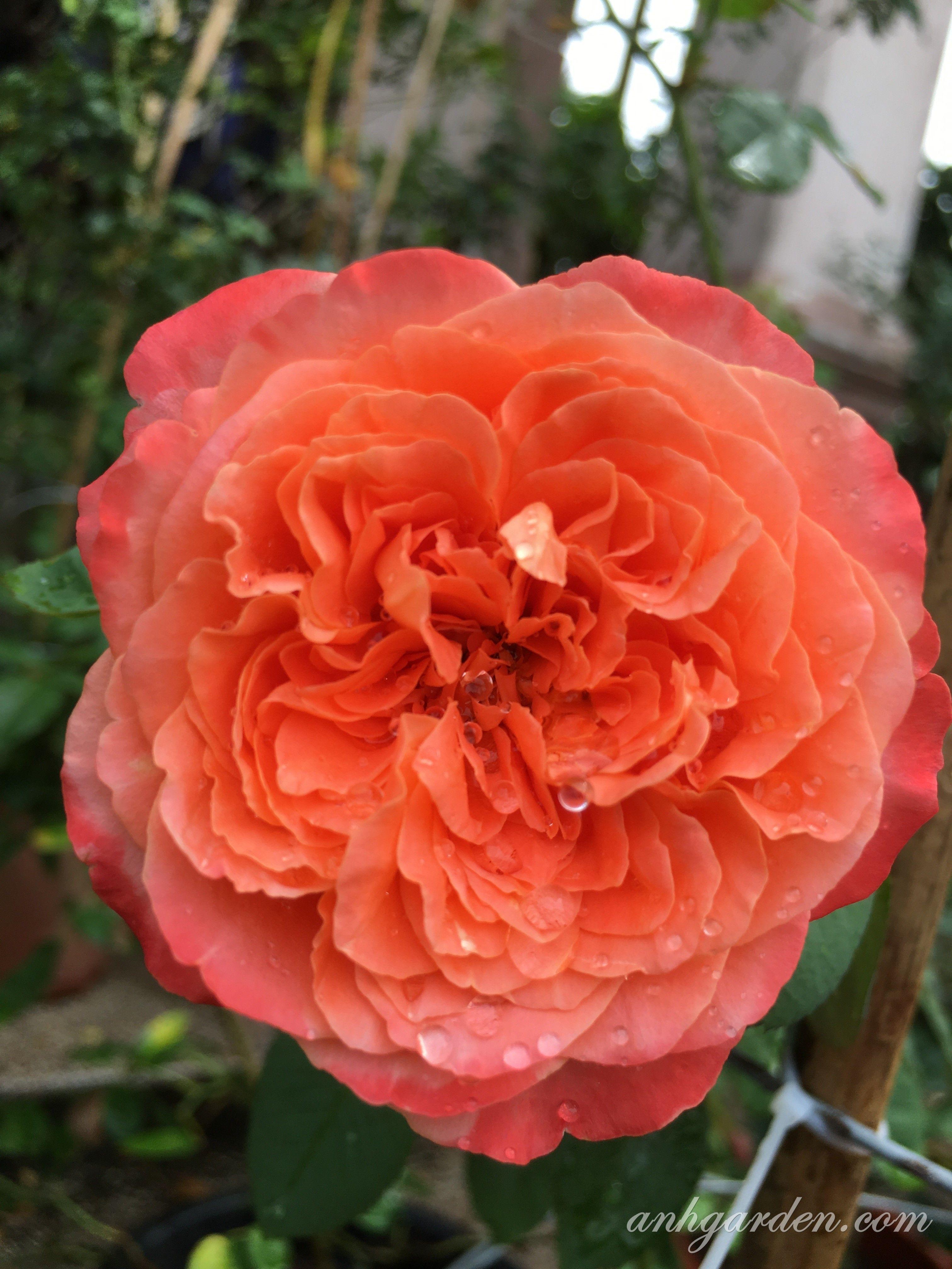 La villa cotta Hoa hồng, Hoa, Hoa hồng đẹp