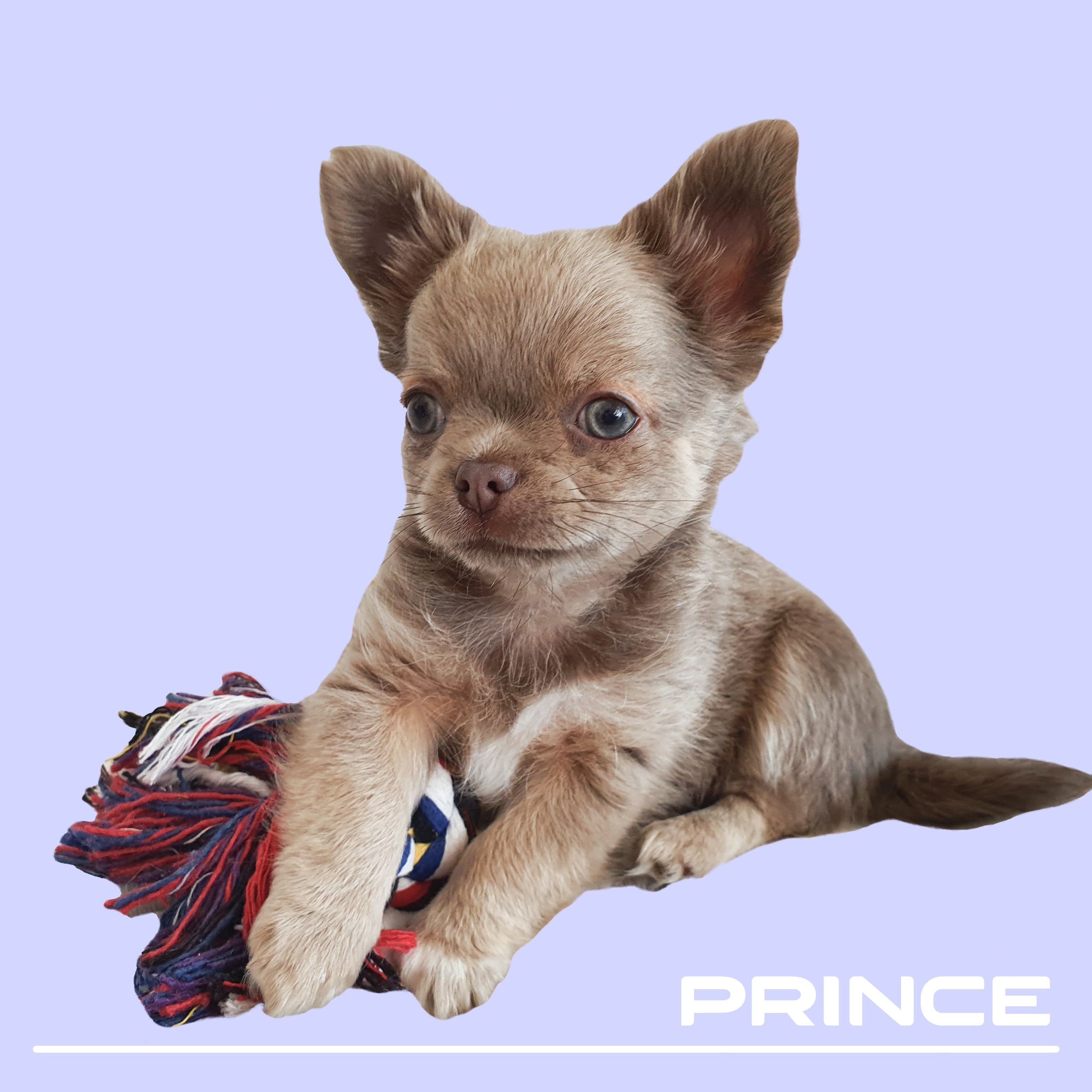 Prince Lilac Chihuahua In 2020 Chihuahua Puppies Chihuahua Puppies