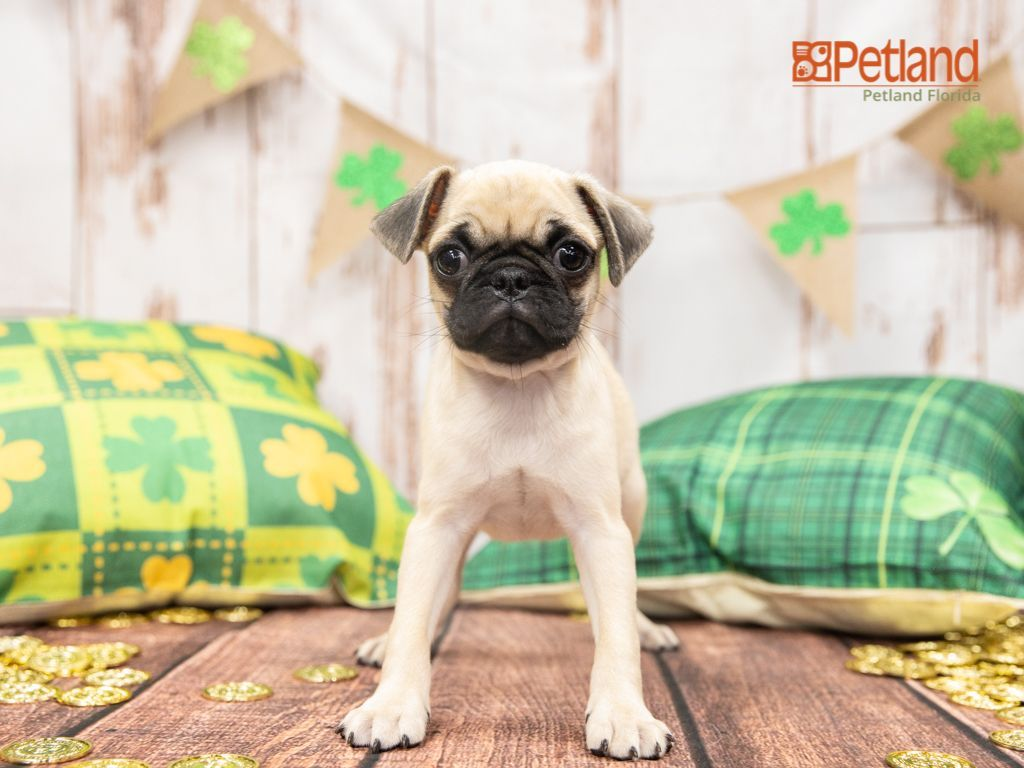 Puppies For Sale Pug Puppies For Sale Pug Puppies Dog Lovers