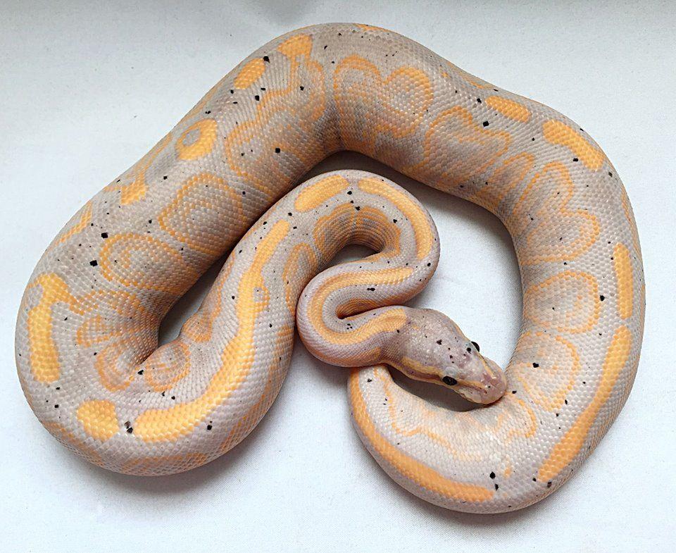 Black Pastel Banana Pos Specter Ball Python Bp Smorphs Cute