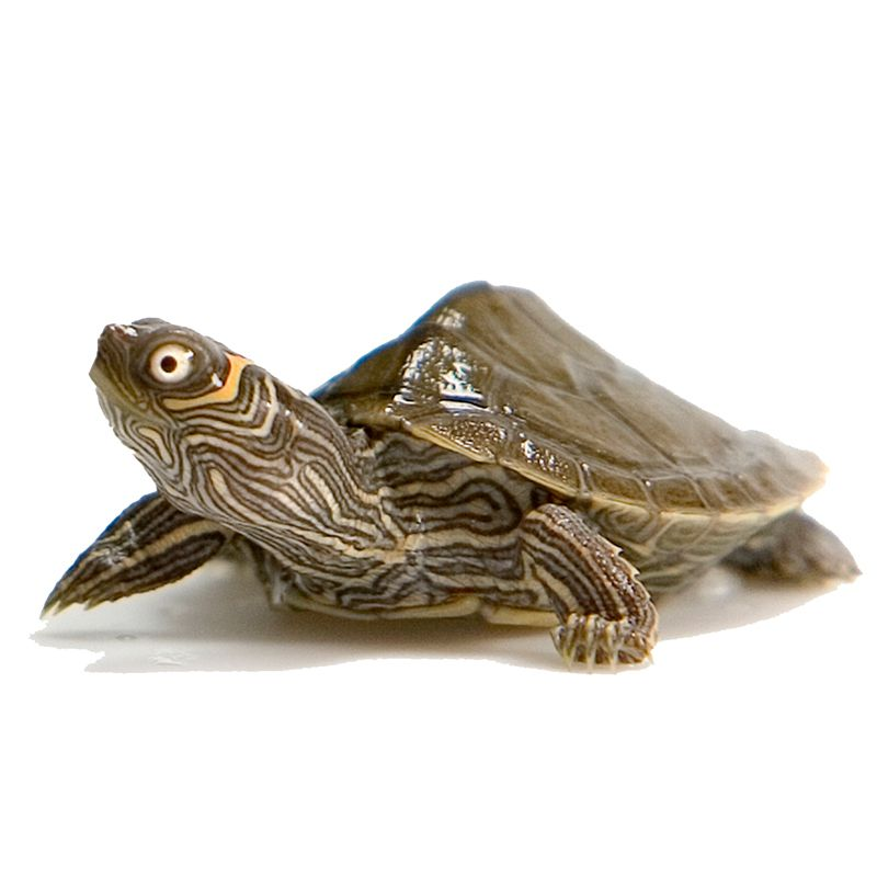 Baby Map Turtles Map Turtle Turtles For Sale Red Eared Slider Turtle