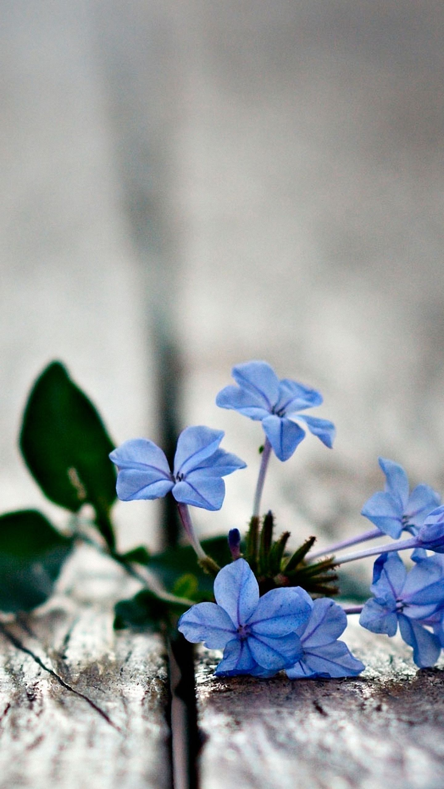 Hd 1440x2560 blue flowers mobile phone wallpapers - Flower wallpaper hd for mobile ...