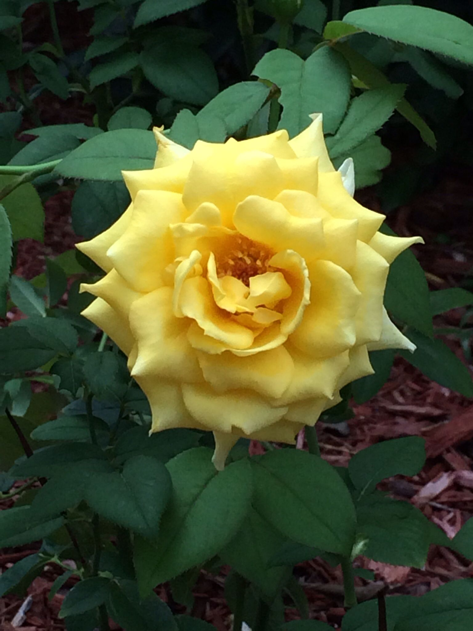 Summer blooms yellow rose Yellow roses, Rose, Flowers