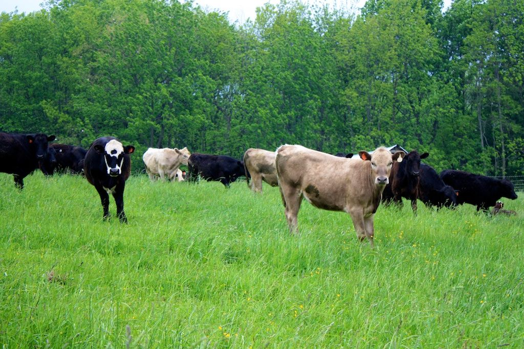 the cows at Polyface farms Joel salatin, New york times