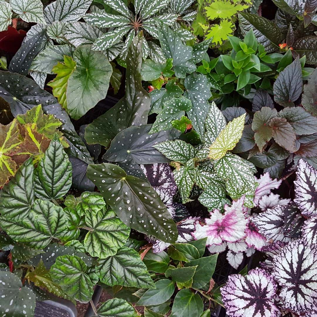 Begonia Varieties Plants Indoor Plants Begonia