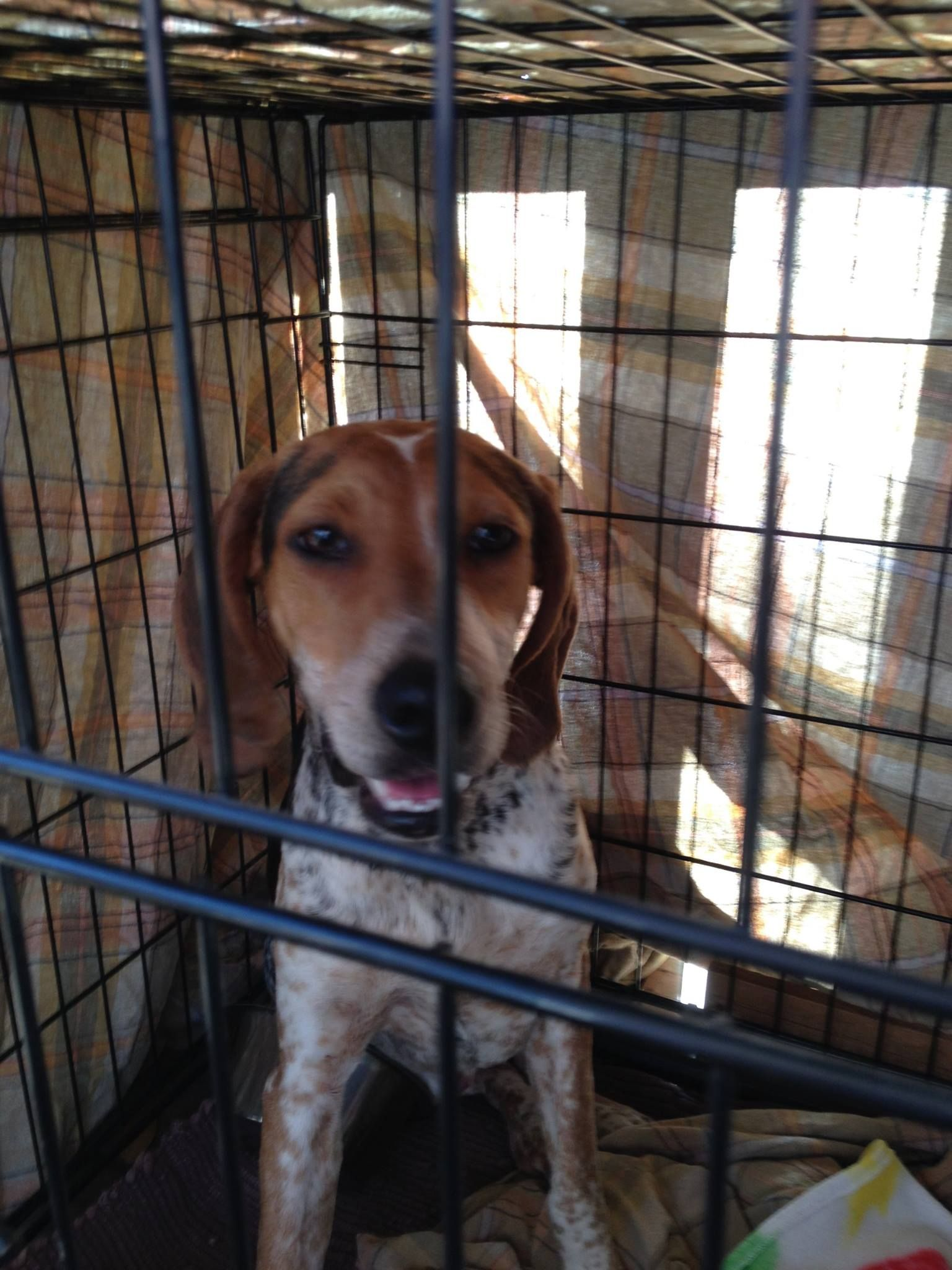 Found Dog Young Female Walker Beagle Mix Loaded With Ticks