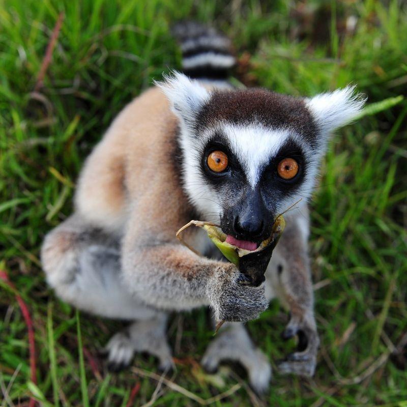 1 непрочитанный чат   Смешные животные, Лемур, Фотографии