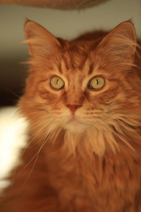 Pin By Sharon Crowder On Norwegian Forest Siberian Cats Siberian Cat Ginger Cats Cats