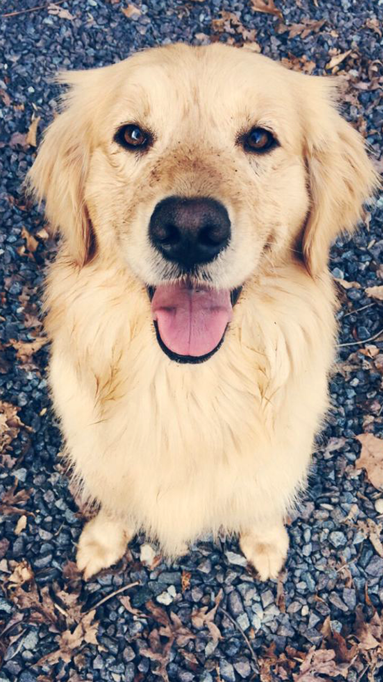 dogs wallpaper Tumblr Cute puppies, Retriever puppy