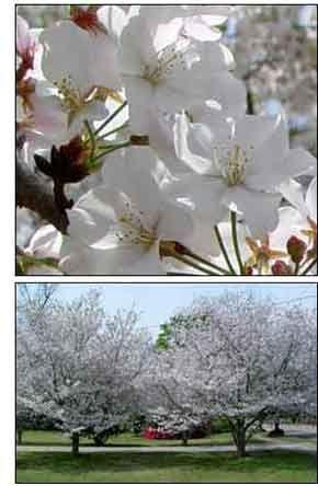 Yoshino Cherry Among Best Flowering Trees Spring Blooming Trees Cherry Blooms Yoshino Cherry Tree