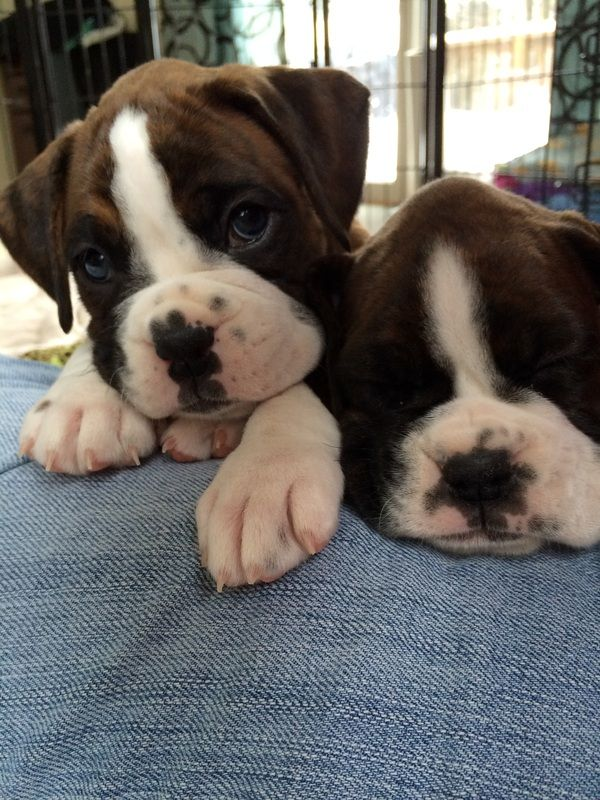 Idea by Betsy Mamo on Boxers in 2020 Boxer puppies