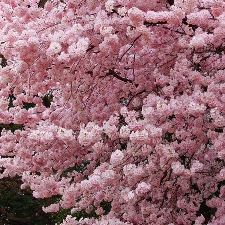 Buy Pandora Charms Online Sale Blossom Trees Sakura Cherry Blossom Cherry Blossom Tree
