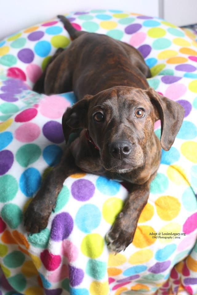 Adopt Bella On Plott Hound Adoption Hound Dog