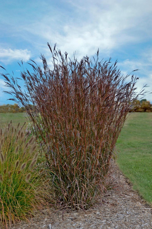 13 Terrific Tall Grasses Tall Grass Landscaping Tall Ornamental Grasses Ornamental Grasses
