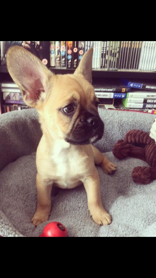 Pin By Lydia Douglas On Frug French Bulldog Dogs Animals