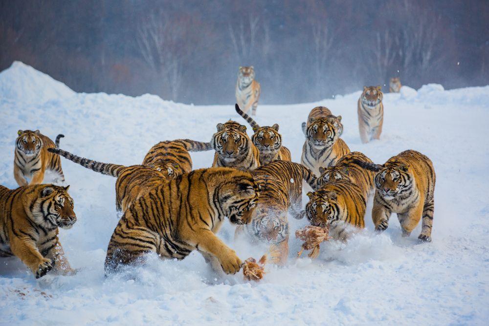 Northest Tiger 23