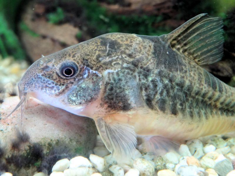 Pepper Cory Aquarium Fish Fish Fish Pet
