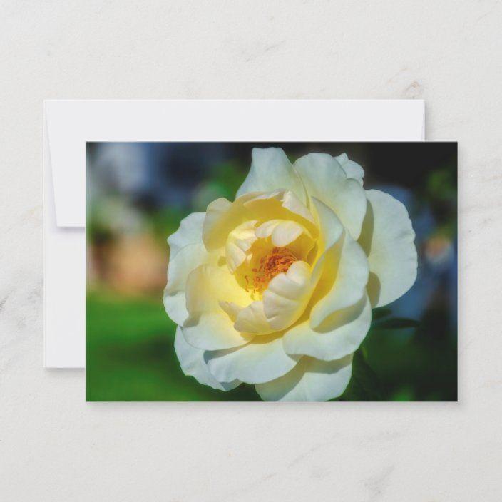 Tarjeta Una gran rosa blanca en el jardin |