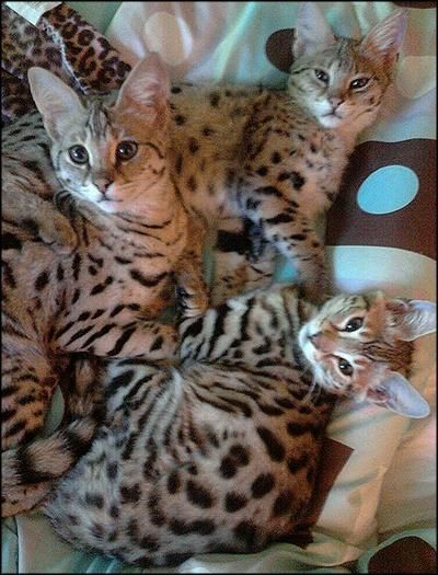 Ranbagley Savannah Cats Savannah Cat Cats Kittens Cutest
