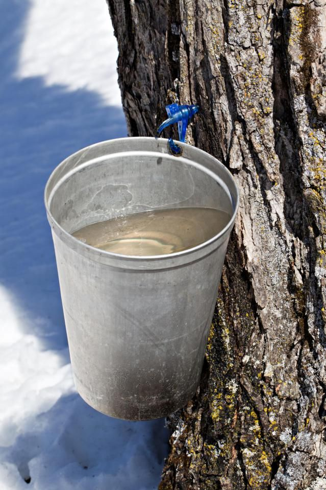 1982f0c066a How to collect sap and make syrup from your mature sugar maples. Review  these sugarbush management suggestions to start a maple sap harvesting  operation.