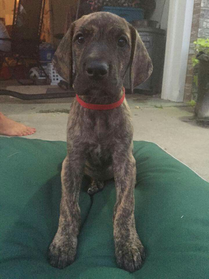 Brindle Great Dane Puppy Pictures References